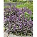 """Purple Sage Herb Plants - Non-GMO - Two (2) Live Plants - Not Seeds - Each 3""""-7"""" tall - in 3.5 Inch Pots - Includes Clovers Garden Copyrighted Plant Care Guide"""