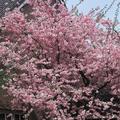 Expert Gardener 3.25G Kwanzan Cherry Flowering Tree