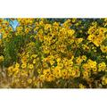 Summer Yellow Plant Black Eye Susan Flowers-20 Inch By 30 Inch Laminated Poster With Bright Colors And Vivid Imagery-Fits Perfectly In Many Attractive Frames