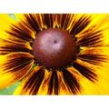 Rudbeckia Black Eyed Susan Flower Bloom Hirta-20 Inch By 30 Inch Laminated Poster With Bright Colors And Vivid Imagery-Fits Perfectly In Many Attractive Frames
