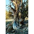 Bristlecone pine grove at Ancient Bristlecone Pine Forest White Mountains California USA Poster Print by Panoramic Images (24 x 36)