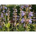 Nature Garden Plant Sage Sage Plant Plant Garden-12 Inch BY 18 Inch Laminated Poster With Bright Colors And Vivid Imagery-Fits Perfectly In Many Attractive Frames