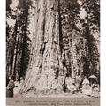 Men And Women Stand Beneath A Mammoth Sequoia Named Abraham Lincoln In The Big Tree Grove Of Calaveras County History