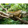 Reptile Lizard Rest Lazing Around Lazy Iguana-12 Inch BY 18 Inch Laminated Poster With Bright Colors And Vivid Imagery-Fits Perfectly In Many Attractive Frames