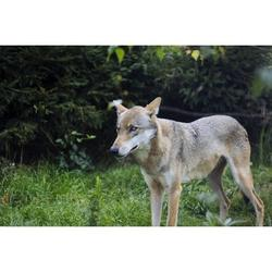 Forest Nature Animal Wild Animal Wild Wolf-20 Inch By 30 Inch Laminated Poster With Bright Colors And Vivid Imagery-Fits Perfectly In Many Attractive Frames