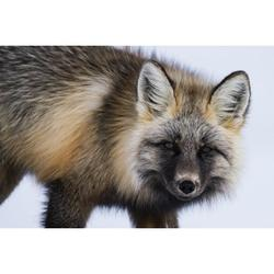 Red fox (Vulpes vulpes) in snow; Haines Junction, Yukon, Canada Poster Print by Robert Postma / Design Pics