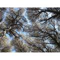 Canopy Pine Forest Trees Coniferous Forest Tuscany-20 Inch By 30 Inch Laminated Poster With Bright Colors And Vivid Imagery-Fits Perfectly In Many Attractive Frames