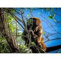 Monkey Animals Wild Animal Nature Environment-20 Inch By 30 Inch Laminated Poster With Bright Colors And Vivid Imagery-Fits Perfectly In Many Attractive Frames