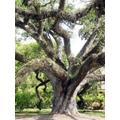 Quercus Virginiana Live Oak Florida Native Tree Roble Pre Bonsai Seed jocad (20 Seeds)