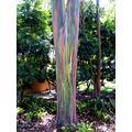 Live Tree 2 Pack Rainbow Eucalyptus - Eucalyptus deglupta Live Trees - Not Seeds! Sapling Seedling Colorful Bark