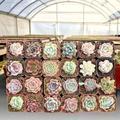 Primrue 24 Piece Assorted Succulent Plant in Pot Set, Size 8.0 H x 12.0 D in | Wayfair 3D6E2C8C6A81471BAB6132B15D19DF25