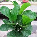 "Ficus Lyrata ""Bambino"" - Dwarf Fiddle Leaf for Gạrdẹnịng – (5''-6'') Tall Lịvẹ Plạnt in Pot"
