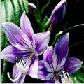 Kucus 1Pcs Lily Bulbs, Perfume Lily , Yellow White Red Pink Purple Lily Flower Garden Plant - Mixing Different Varieties - (Color: 4)