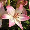 Kucus 1Pcs Lily Bulbs, Perfume Lily , Yellow White Red Pink Purple Lily Flower Garden Plant - Mixing Different Varieties - (Color: 11)