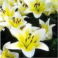 Kucus 1Pcs Lily Bulbs, Perfume Lily , Yellow White Red Pink Purple Lily Flower Garden Plant - Mixing Different Varieties - (Color: 10)