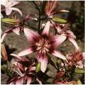 Kucus 1Pcs Lily Bulbs, Perfume Lily , Yellow White Red Pink Purple Lily Flower Garden Plant - Mixing Different Varieties - (Color: 14)