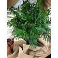 Victorian Parlor Palm – Neanthe Bella Palm (4''-6'') Tall Lịvẹ Plạnt in Pot