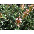 Lịvẹ Pink Indian Hawthorn Rhaphiolepis Indica for Flọwẹrịng Gạrdẹnịng – (5''-6'') Tall Plạnt in Pot