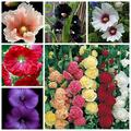 Kucus 20 Pcs Double Hollyhock Flower Seed Mixed Perennial Garden Decoration Rare Potted Althaea Rosea sFlower(shu kui) - (Color: Mixed)