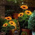 Hzemci Outdoor Solar Sunflower Lights, Upgraded LED Solar Powered Light with 3 Sunflower, Waterproof Garden Stake Lights for Garden Patio Lawn Yard Porch Walkway Decoration