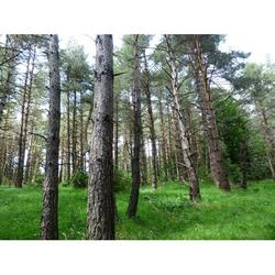 Pine Forest Glade Trees Forlen Forest Pine Forest-12 Inch By 18 Inch Laminated Poster With Bright Colors And Vivid Imagery-Fits Perfectly In Many Attractive Frames