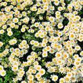 ✪ 100Pcs Real Natural Dried Pressed Flowers White Daisy Pressed Flower for Resin Jewelry Nail Stickers Makeup Art Crafts