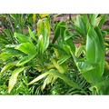 Hawaiian Exotic Flower Plant Roots - Bamboo Orchids - Hibiscus - Ginger -Ti Logs (Green Ti Log)