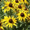 Outsidepride Rudbeckia Hirta Black-Eyed Susan Flower Seeds - 1/4 LB