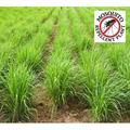 2 Lemongrass Plants - Mosquito Repellent Plants Non GMO TWO LIVE PLANTS - Not Seeds - Each 4-7 inches Tall - 4 inch Pots - Edible Medicinal Herb Cymbopogon + Clovers Garden Copyrighted Planting Guide