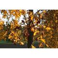 Leaves Maple Autumn Leaf Fall Foliage Maple Leaves-12 Inch BY 18 Inch Laminated Poster With Bright Colors And Vivid Imagery-Fits Perfectly In Many Attractive Frames