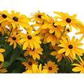 Black Eyed Susan Seeds - Rudbeckia Hirta - Attracts Butterflies Non GMO 10,000 Seeds