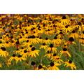 Susan Yellow Black-eyed Flowers Garden Nature-20 Inch By 30 Inch Laminated Poster With Bright Colors And Vivid Imagery-Fits Perfectly In Many Attractive Frames