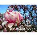 canvas print laminated poster magnolia leaves magnolia magnolia tree pink flower stretched canvas 10 x 14