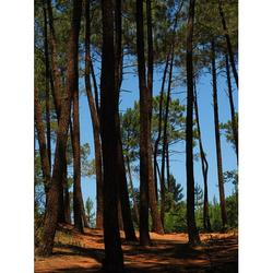 Pine Pine Family Forest Pine Forest Trees-20 Inch By 30 Inch Laminated Poster With Bright Colors And Vivid Imagery-Fits Perfectly In Many Attractive Frames
