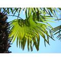 Palm Green Palm Leaf Leaf Structure Wedel Leaves-20 Inch By 30 Inch Laminated Poster With Bright Colors And Vivid Imagery-Fits Perfectly In Many Attractive Frames