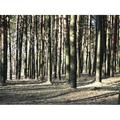 Pine Forest Nature Woods Green Trees Forest Pines-20 Inch By 30 Inch Laminated Poster With Bright Colors And Vivid Imagery-Fits Perfectly In Many Attractive Frames
