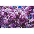 """Flowers Magnolia Blossom Pink Bl'†™'¬""""''¬¡š'¼tenmeer Magnolia-20 Inch By 30 Inch Laminated Poster With Bright Colors And Vivid Imagery-Fits Perfectly In Many Attractive Frames"""