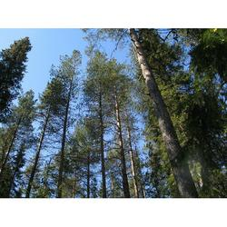 Timber Forest Pine Trees Pine Forest-12 Inch BY 18 Inch Laminated Poster With Bright Colors And Vivid Imagery-Fits Perfectly In Many Attractive Frames