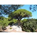 Green Pine Forest Landscape Nature Catalonia Tree-20 Inch By 30 Inch Laminated Poster With Bright Colors And Vivid Imagery-Fits Perfectly In Many Attractive Frames
