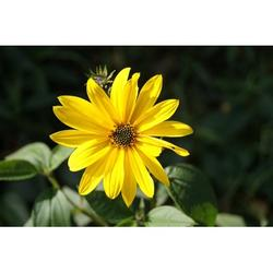 Susan Flower Black Eyed Susan Yellow Garden-12 Inch BY 18 Inch Laminated Poster With Bright Colors And Vivid Imagery-Fits Perfectly In Many Attractive Frames