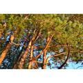 Pine Forest Trees Coniferous Tree Nature-20 Inch By 30 Inch Laminated Poster With Bright Colors And Vivid Imagery-Fits Perfectly In Many Attractive Frames