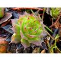 Plant Stone Plant Spring Plant Spring Green Flower-12 Inch By 18 Inch Laminated Poster With Bright Colors And Vivid Imagery-Fits Perfectly In Many Attractive Frames