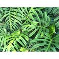 Leaves Green Leaves Green Leaf Nature Leaf Green-20 Inch By 30 Inch Laminated Poster With Bright Colors And Vivid Imagery-Fits Perfectly In Many Attractive Frames