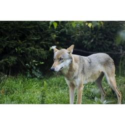 Forest Nature Animal Wild Animal Wild Wolf-12 Inch By 18 Inch Laminated Poster With Bright Colors And Vivid Imagery-Fits Perfectly In Many Attractive Frames