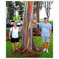 Live Rainbow Eucalyptus Tree Two Pack (2 Trees) Eucalyptus deglupta Sapling Colorful Bark Live Tree