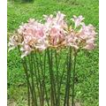 3 Bareroot Pink Spider Lily/Surprise Lily/Naked Lady Lily/Resurrection Lily/August Lily/Raidanti Squamigera