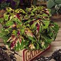 Kong Series Coleus Seeds - Mosaic - 100 Seeds - Ornamental & Decorative House & Garden Plant Seeds by Mountain Valley