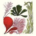 "Buyenlarge 0-587-18716-L-P1218 Seaweeds Common Coralline Paper Poster, 12"" x 18"""