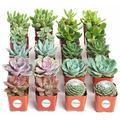 Primrue 20 Piece Ackley Succulent Plant in Pot Set, Size 12.0 H x 10.0 D in | Wayfair 8E77B0D095074B75BE32F034C8C2F96E