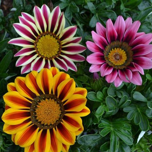 Sommerblumen-Set Mittagsgold, 3 Stück